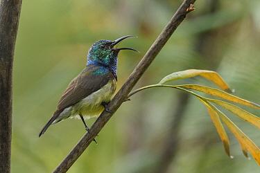 Souimanga Sunbird (Nectarinia sovimanga) male calling, Madagascar
