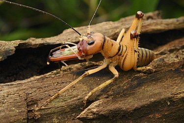 Cricket (Spizaphilus sp) male showing elongated mandibles, Andasibe, Madagascar