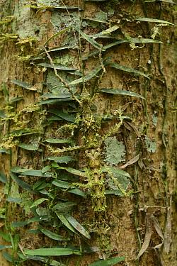 Stick Insect (Phasmatidae) camouflaged on tree trunk, Mantadia National Park, Madagascar