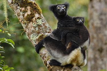 Indri (Indri indri) mother and young, Mantadia National Park, Madagascar