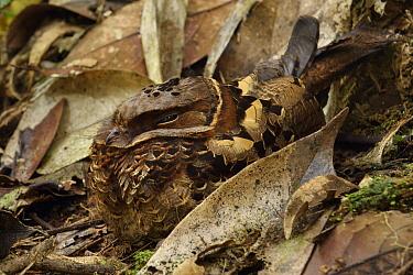 Collared Nightjar (Caprimulgus enarratus) camouflaged in leaf litter, Mantadia National Park, Madagascar