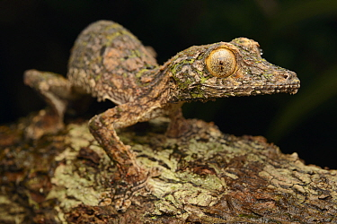 Common Flat-tail Gecko (Uroplatus fimbriatus), Masoala National Park, Antsiranana, Madagascar