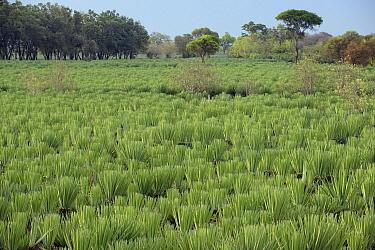 Sisal (Agave sisalana) plantation for production of fiber, Amboasary, Madagascar