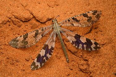 Antlion (Palpares sp), Berenty Private Reserve, Madagascar