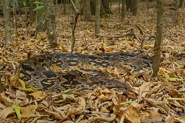 Malagasy Ground Boa (Acrantophis madagascariensis) in leaf litter, Berenty Private Reserve, Madagascar