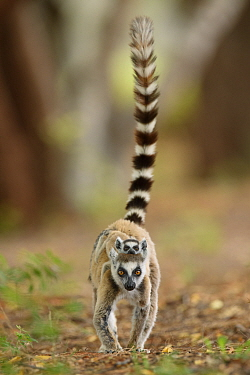 Ring-tailed Lemur (Lemur catta) mother carrying young, Berenty Private Reserve, Madagascar