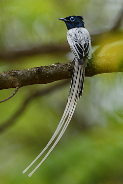 Madagascar Paradise Flycatcher (Terpsiphone mutata) male, Berenty Private Reserve, Madagascar