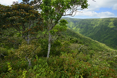 Tree on canyon edge, Black River Gorges National Park, Mauritius