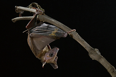 Geoffroy's Rousette (Rousettus amplexicaudatus) bat roosting, Sarawak, Borneo, Malaysia