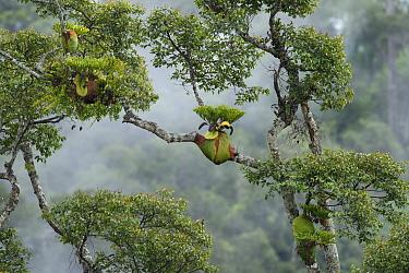 Staghorn Fern (Platycerium ridleyi) group on tree, Sarawak, Borneo, Malaysia