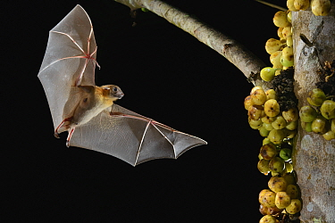 Lesser Short-nosed Fruit Bat (Cynopterus brachyotis) approaching figs to feed on, Kuching, Sarawak, Borneo, Malaysia