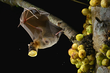 Lesser Short-nosed Fruit Bat (Cynopterus brachyotis) carrying fig, Kuching, Sarawak, Borneo, Malaysia