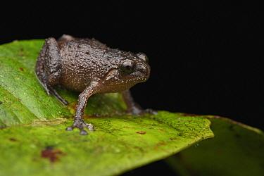 Frog (Oreophryne variabilis), Sulawesi, Indonesia