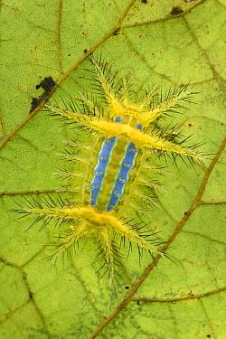 Cup Moth (Limacodidae) caterpillar showing stinging bristles and a bright aposematic warning coloration, Mulu National Park, Sarawak, Borneo, Malaysia