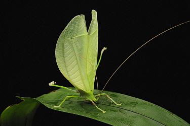 Katydid (Tympanophyllum arcuifolium) in defensive posture, Gunung Mulu National Park, Sarawak, Borneo, Malaysia