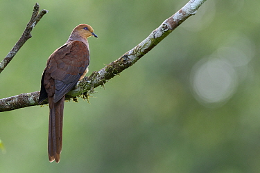 Slender-billed Cuckoo-Dove (Macropygia amboinensis), Halmahera, North Maluku, Indonesia