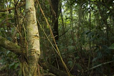Leaf-tailed Gecko (Uroplatus sikorae) camouflaged in forest, Andasibe, Madagascar