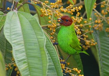 Bay-headed Tanager (Tangara gyrola) feeding on fruit, Asa Wright Nature Center, Trinidad