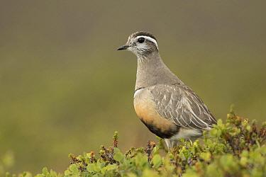 Eurasian Dotterel (Charadrius morinellus) male, Norway