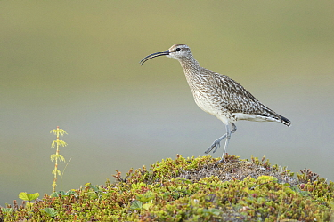 Whimbrel (Numenius phaeopus), Norway