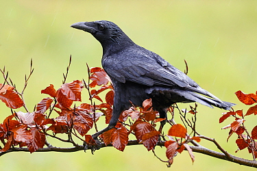 Carrion Crow (Corvus corone), Asturias, Spain