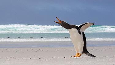 Gentoo Penguin (Pygoscelis papua) calling, Falkland Islands