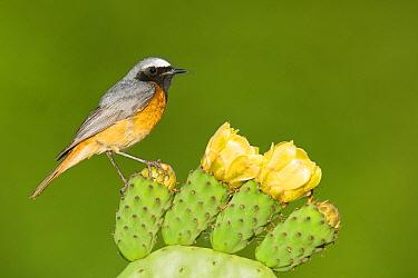 Common Redstart (Phoenicurus phoenicurus) male on flowering cactus, Portugal
