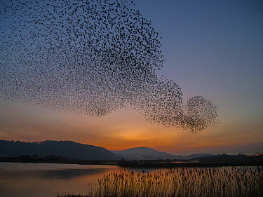 Common Starling (Sturnus vulgaris) flock flying over lake, Wales, United Kingdom
