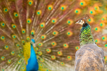Indian Peafowl (Pavo cristatus) female watching male performing courtship display, Castilla Leon, Spain