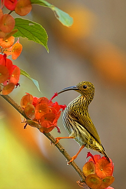 Streaked Spiderhunter (Arachnothera magna) feeding on flower nectar, Darjeeling, India