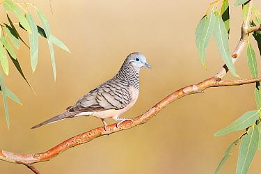 Peaceful Dove (Geopelia placida), Victoria, Australia