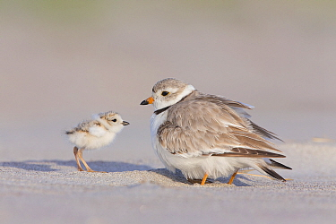 Piping Plover (Charadrius melodus) with chick, Massachusetts
