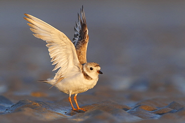 Piping Plover (Charadrius melodus) stretching, Massachusetts