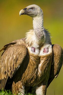 Griffon Vulture (Gyps fulvus), Castile-Leon, Spain