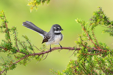 Grey Fantail (Rhipidura albiscapa), New South Wales, Australia
