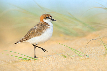 Red-capped Plover (Charadrius ruficapillus) on beach, New South Wales, Australia