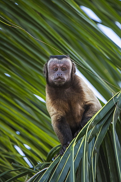 Brown Capuchin (Cebus apella), Guyana