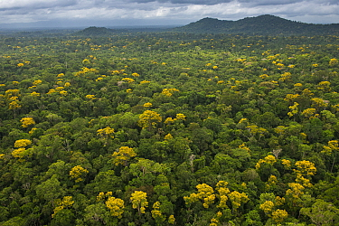 Rainforest canopy showing flowering trees, Guyana