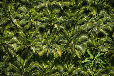 Coconut Palm (Cocos nucifera) forest, Georgetown, Guyana