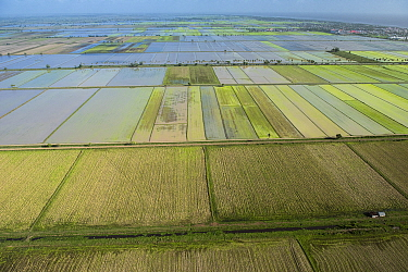 Rice (Oryza sp) fields, Guyana