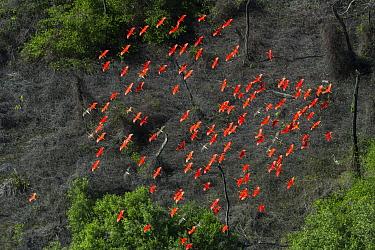 Scarlet Ibis (Eudocimus ruber) flock flying, Shell Beach, Guyana