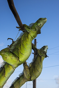 Green Iguana (Iguana iguana) pair in market, to be sold for meat consumption, Georgetown, Guyana