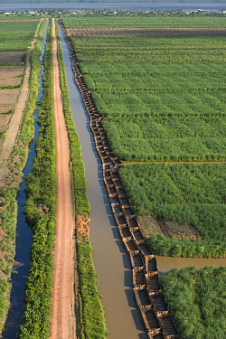 Sugarcane (Saccharum sp) fields and transportation boats, Guyana