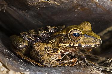 Groete Creek Carrying Frog (Stefania evansi) mother carrying froglets on back, Kaieteur Falls, Potaro River, Kaieteur National Park, Guyana