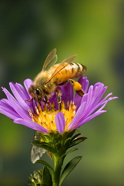 Honey Bee (Apis mellifera) with pollen baskets, Oregon