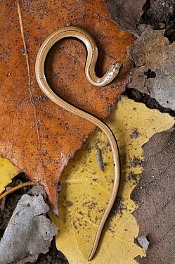 Slow Worm (Anguis fragilis) on forest floor, Catalonia, Spain