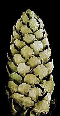 Italian Stone Pine (Pinus pinea) stamen, magnified 14 times, of male flower, Barcelona, Spain