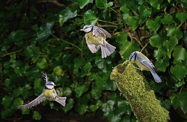 Blue Tit (Cyanistes caeruleus) group flying, Sussex, England