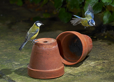Great Tit (Parus major) and flying Blue Tit (Cyanistes caeruleus), Sussex, England