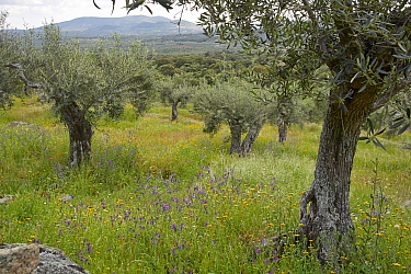Olive (Olea europaea) grove, Extremadura, Spain